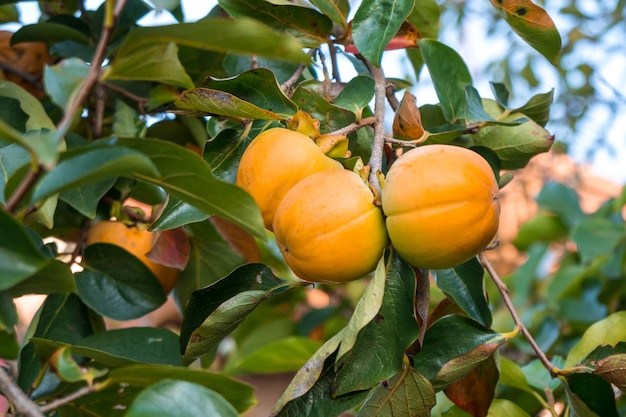 未熟な柿と新緑の葉