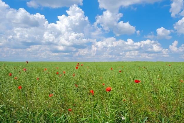여름에 흐린 푸른 하늘 배경에 설익은 유채 기름종자