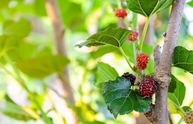 Unripe red and black mulberries fruit on its tree