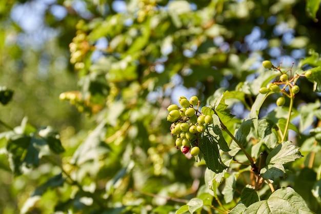 Незрелые плоды шиповника, растущие на открытом воздухе в саду