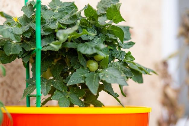 창턱에 자라는 설익은 작은 토마토. 녹색 과일이 있는 나뭇가지에 있는 온실에 있는 신선한 미니 야채. 줄기에 관목 미성숙 야채입니다. 부시 대통령은 젊은 과일.