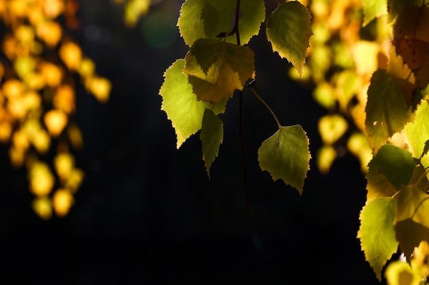 설정되지 않은 백라이트 가을 녹색 노란색과 주황색 수양 자작 나무 잎 프리미엄 사진