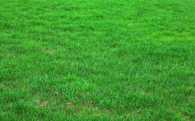 깎이지 않은 녹색 잔디. 배경, 질감입니다. 배경에 대한 녹색 잔디