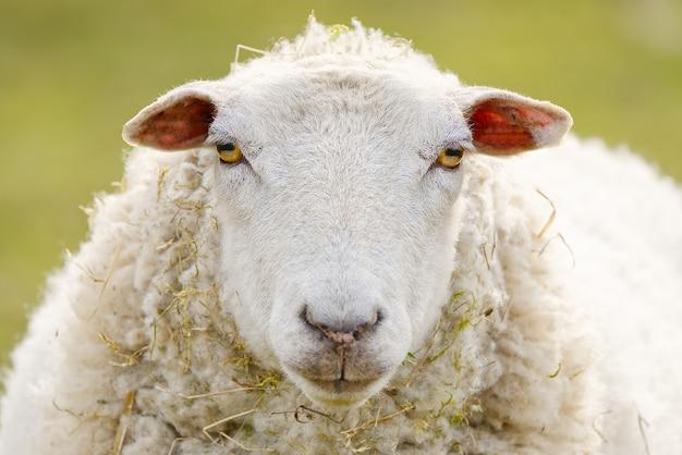 春の牧草地で刈り取られていない羊 村の農場で育てられた美しい自然の羊のクローズアップ