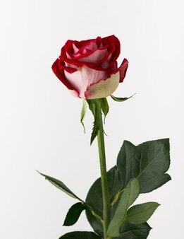 未処理と白い背景の上の粗いバラ