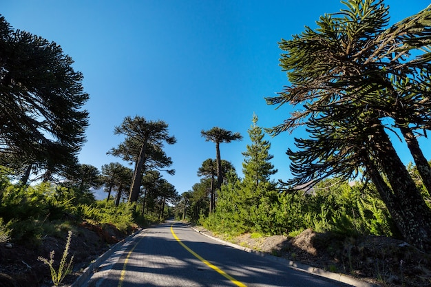 Unusual araucaria trees in andes mountains, chile