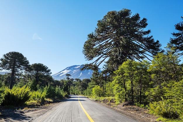 Необычные деревья араукарии в андах, чили