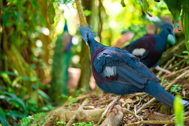 緑豊かな公園の珍しい戴冠鳩が羽を掃除します。自然の美しさ。バードウォッチング