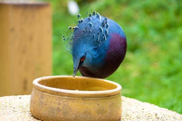 緑豊かな公園の珍しい戴冠鳩は、給餌桶から食べます。自然の美しさ。バードウォッチング