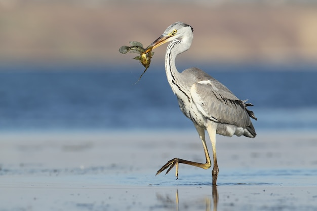 Unusual extra close up portrait of grey heron with a fish in beak.