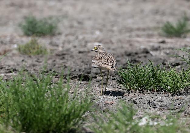 珍しい鳥ユーラシアイシチドリの珍しい写真。