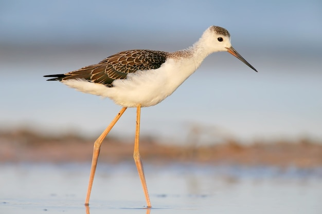 Unusual portrait young  black-winged stilt in soft morning light from short distance.