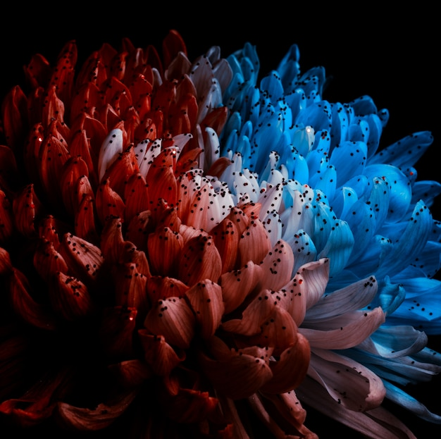 Unusual red and blue dahlia.