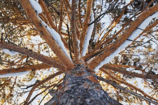 Необычный вид большой старой сосны, снизу вверх, зима