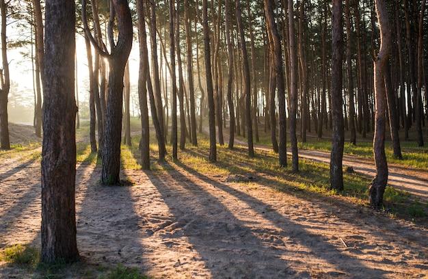 따뜻하고 화창한 여름 아침에 울창한 어두운 가문비나무 숲 뒤에 수평선에 비정상적으로 아름다운 일출