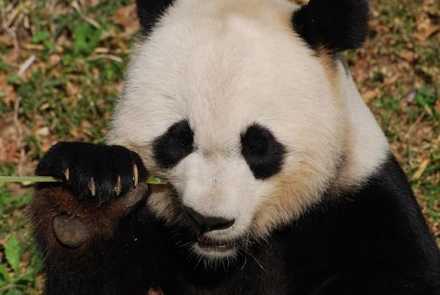 An up close look at a giant panda bear