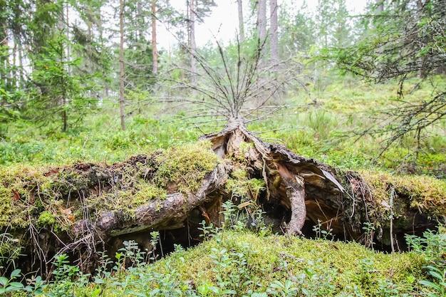 Вырванные с корнем деревья после урагана в лесу в восточной европе.