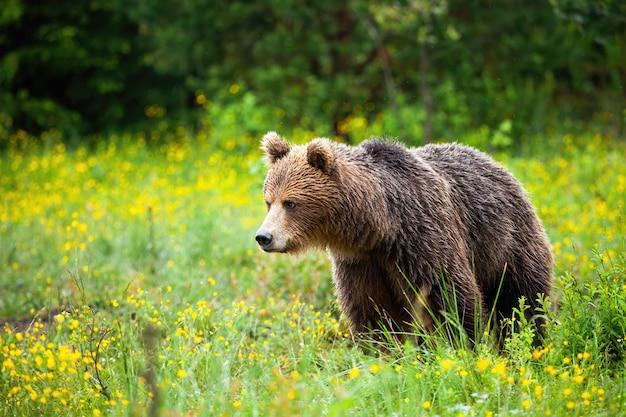 Расстроенный бурый медведь смотрит вниз на весенний луг с желтыми цветами
