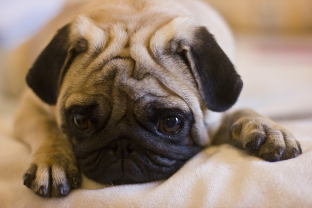 Upset puppy pug laying on the bed