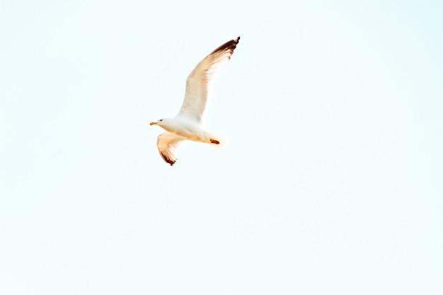 Поднимание чайки летать над головой в солнечный день с ясным голубым небом