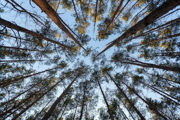 Вид сверху на верхушку елей в лесу