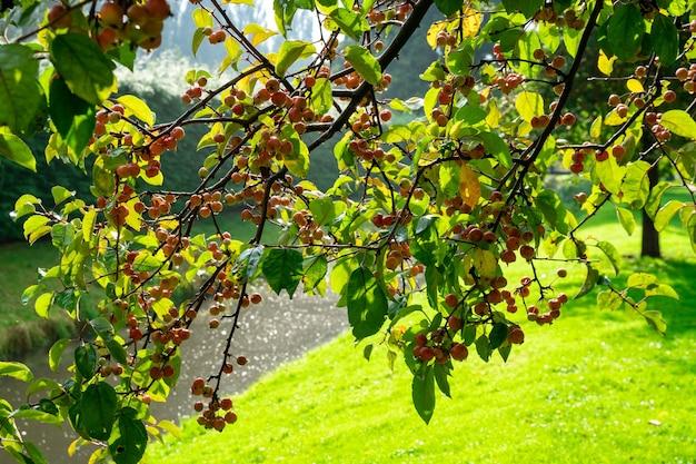 Городские бульвары яблочная и дикая яблоня. malus - это род разновидностей небольших листопадных яблонь или кустарников. роттердам.