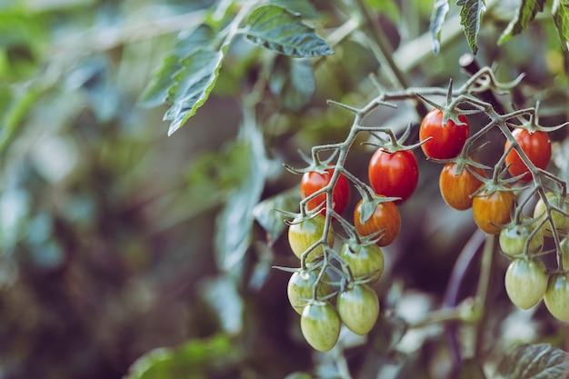 Urban gardening tomato