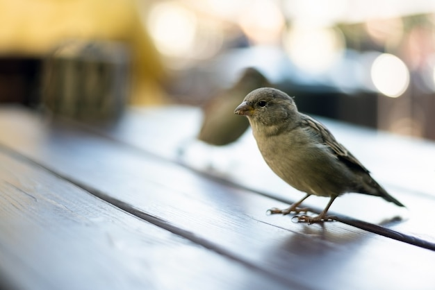 Urban sparrows in a cafe on the table