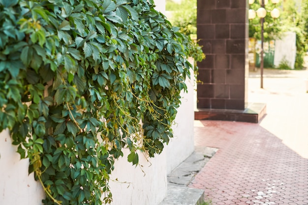 Urban street background. an asphalt road in front of an old white wall covered of ivy