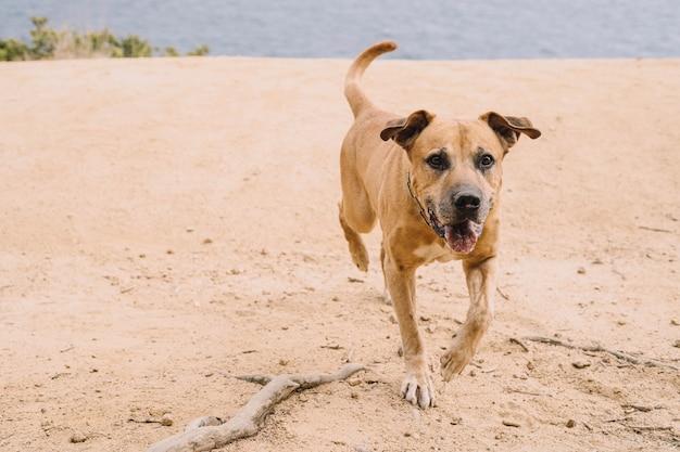 ウルグアヤのシマロン種の野外での犬の狩猟ビッグゲームの狩猟の概念