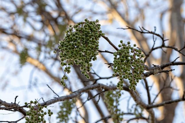 Urunday tree with fruits of the species myracrodruon urundeuva with selective focus