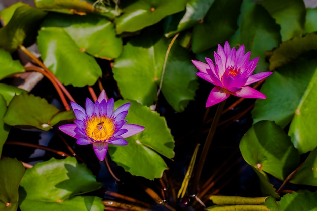 Us flower blossom in pond