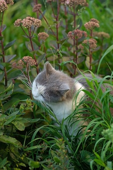 Useful grass for cleaning the stomach cat. fluffy emotional cat eats grass on a walk in the summer. domestic cat eating cat grass.