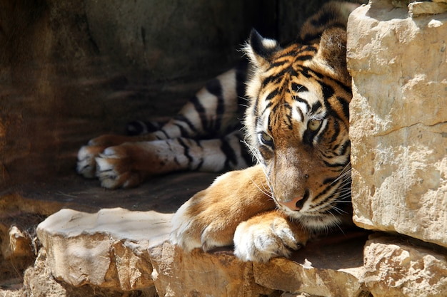 The ussurian tiger is sad in captivity at the zoo jerusalem