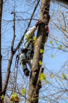 A utility worker climbs up a tree to trim branches