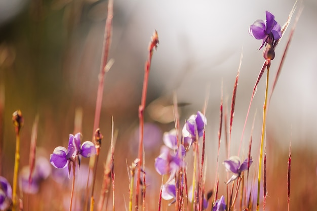 Utricularia delphinioides is an insectivorous plant in the wong suoi wanna family herbaceous plant the flowers are bouquet of dark purple.