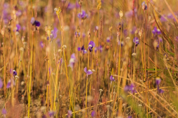 Utricularia delphinioidesはwong suoi wannaファミリーの食虫植物です草本植物花は濃い紫色の花束です。
