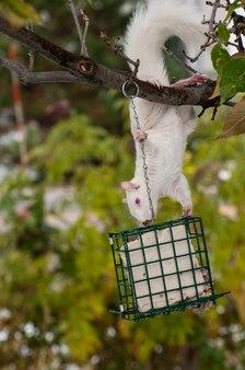 미네소타주 배드네이스 하이츠. 나무에 매달려 있는 알비노 다람쥐는 새를 위한 수트 피더에서 수트를 먹고 있습니다. 동부 회색 다람쥐 - sciurus carolinensis.