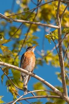 木の美しい春の設定に囲まれたvadnaisheightsミネソタ州のアメリカコマドリturdusmigratorius