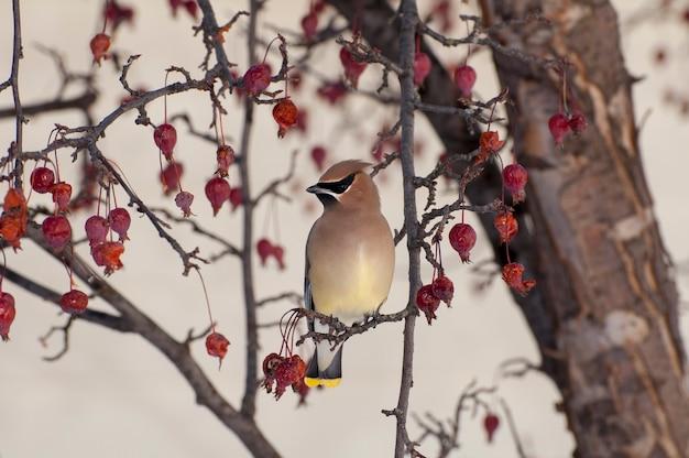 ミネソタ州バドネハイツ。ベリーの木のヒメレンジャク