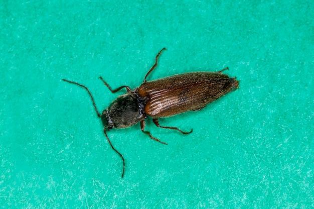 ミネソタ州バドネハイツ。緑の背景にあるカブトムシ、クシコメツキ属の種をクリックします。