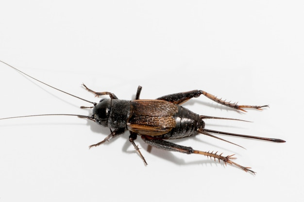 Vadnais heights, minnesota.  female fall field cricket,