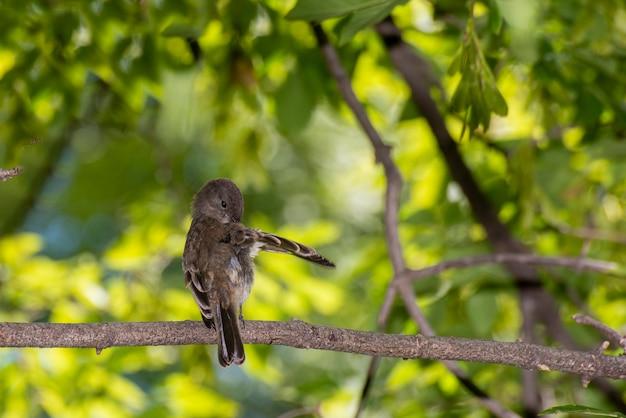 Vadnais heights minnesota vadnais lake regional park 동부 피비 sayornis phoebe 나뭇가지에 날개를 다듬고 있다