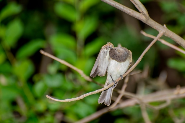 Vadnais heights minnesota vadnais lake regional park eastern phoebe sayornis phoebe는 나뭇가지에 앉아 날개를 청소하고 있습니다.