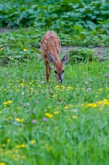 ミネソタ州バドネハイツ。オジロジカ、野花畑で植生を食べる子鹿。