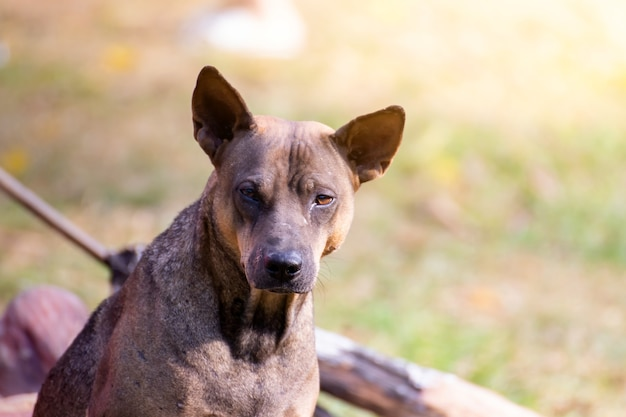 Vagrant dog watching staring at camera. the dog looking at photographer,stray dog,homeless dog