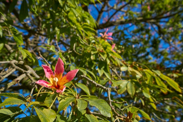 Valencia ceiba tree flowers at turia park