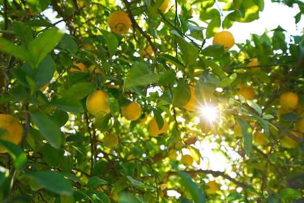 Valencia lemon tree at turia park gardens