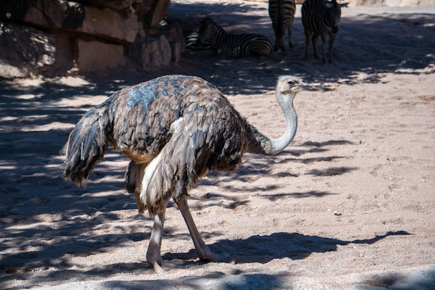 Валенсия, испания - 26 февраля: самка страуса в биопарке в валенсии, испания, 26 февраля 2019 г.
