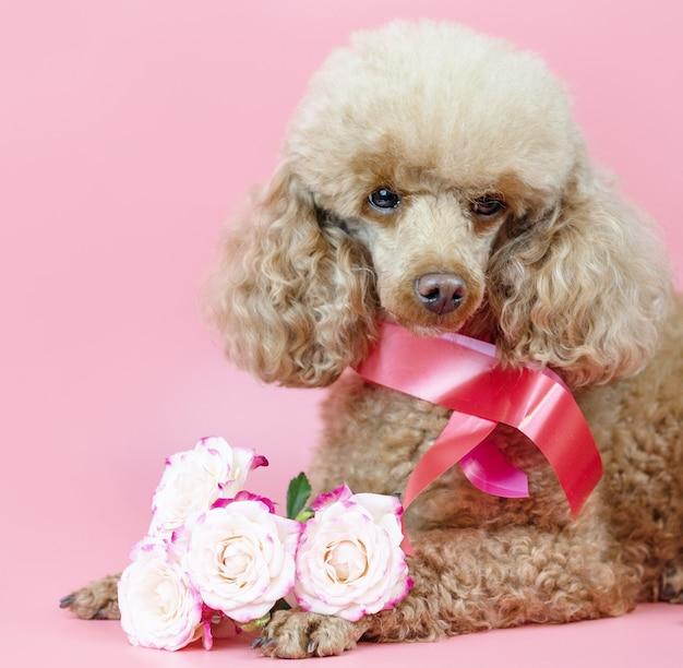 Собака на день святого валентина, абрикосовый пудель с лентой на шее и букет розовых роз на розовом фоне